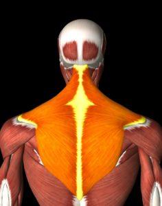 lichobežníkový sval - trapéz